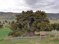 Konya'da 2 bin yıllık anıt ağaç