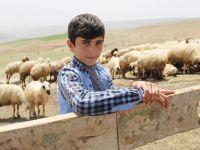 Koyun sağıp, çobanlık yapan Habib'in TEOG başarısı