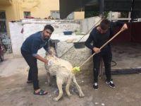 Aksaray Malaklısı cinsi çoban köpeğinin banyo keyfi