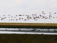 Tuz gölü flamingoların evi oldu