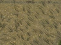 Gölden kanala yavru balık akışına tepki