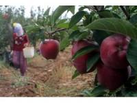 """İtalyanların """"scarlet"""" elmasını Elazığ'da üretiyor"""