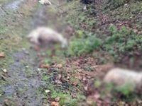Aç kurtlar koyunları telef etti