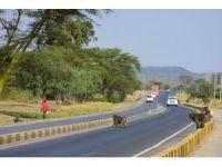 Kenya'da yiyecek için şehirlere inen babunlar trafik kurbanı
