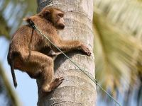Hindistan'da polis bebek hırsızı maymunun peşinde
