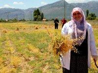 Meslek lisesinin organik nohutları hasat edilmeye başlandı