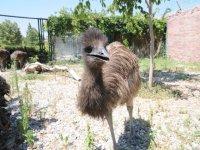 Karatay hayvanat bahçesi'nin yeni üyeleri 'Emu Kuşları'