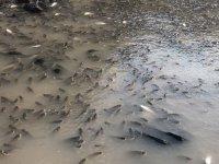 On binlerce balık havasızlıktan öldü