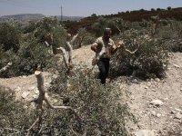 Yahudi yerleşimciler, Filistinlilerin zeytin ve üzüm ağaçlarına saldırdı