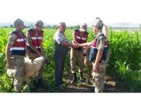 Kaçan kurbanlık koçlar drone ile bulundu