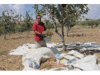 Siirt'te fıstık hasadı sona erdi