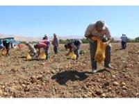 İlk yerli, milli ve renkli patates hasat edildi