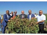 Osmaniye'de 51 bin ton yer fıstığı rekoltesi bekleniyor