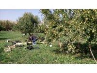Gürpınar'da elma hasadı başladı