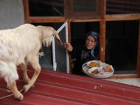 Ev yemeklerini seven oğlak kaşıkla besleniyor