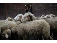 Madrid'de bin 500 koyunla Ortaçağ geleneği canlandırıldı