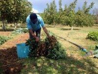 Menteşe'de yer fıstığı üretimi başladı
