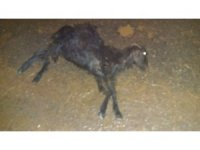 Samsat'ta hayvanlar selde telef oldu
