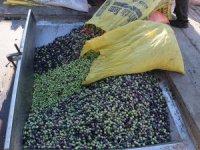"""Toroslar'ın """"organik"""" zeytini ilgi görüyor"""
