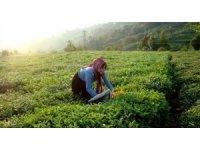 Büyükşehir, Karadenizli üreticiden çay alımına başladı
