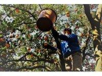 Aydın'da portakal hasadı başladı