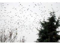 Kırklareli'nde sığırcıkların görsel şöleni