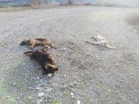 Tokat'ta 4 kopek yol ortasında ölü bulundu