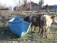 Balıkçı teknesi ineklerin su ihtiyacını karşılıyor