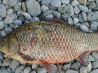Çin sazanı balıkçıların yeni umudu oldu