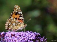 Diken Kelebeği Göçü  Kimdir Diken Kelebeği?