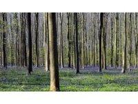 Belçika'daki Hallerbos Ormanı'nda çan çiçekleri büyülüyor