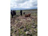 Çamura saplanan inek için köylüler seferber oldu