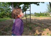 Kiraz hasadı başladı; tarlada fiyat 5 ile 8 TL arasında
