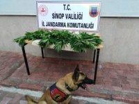 Sinop'ta jandarma ekiplerinden kenevir operasyonu