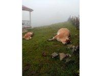 Yaylada elektrik akımına kapılan 2 inek telef oldu