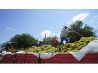 Sarıgöl'de şaraplık üzüm alımları başladı