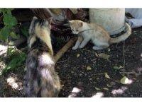 Kedi yavrusunun fare ile oyunu