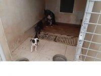 Pitbull Terrier cinsi köpek ve yavrularına el konuldu