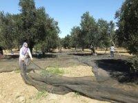 Zeytin hasadına başlandı