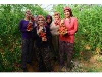 Antalya'da güz dönemi domates hasadı başladı