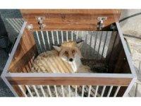 Yaralı Kızıl Tilki ile Puhu tedavi altına alındı
