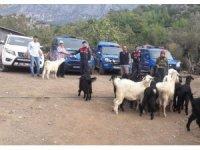 Kayıp dağ keçileri jandarma tarafından bulundu