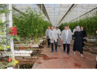 Vali Yazıcı, Burhaniye'de domates hasadı yaptı