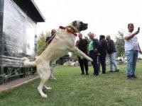 Aydın'da 422 köpeğin değerlendirileceği ırk yarışması başladı
