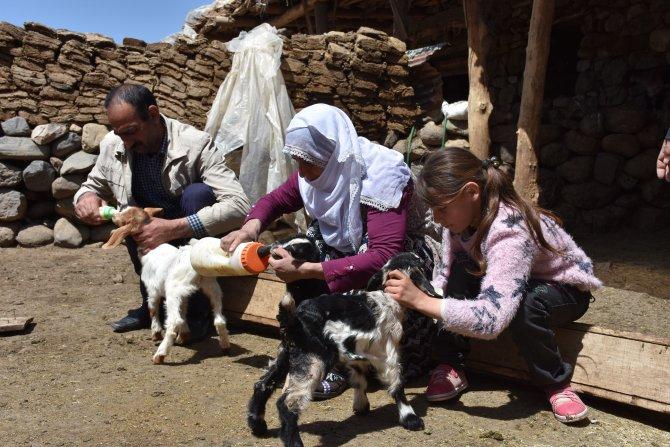 Anneleri çalınan kuzular biberonla besleniyor