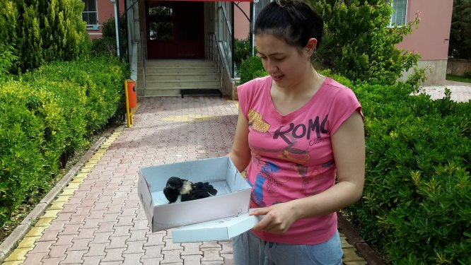 Yaralı karga yavrusu tedaviye alındı