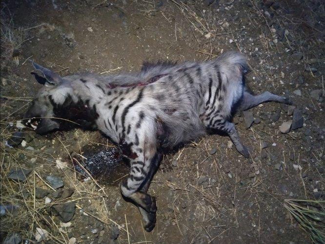 Gaziantep'te çizgili sırtlan leşi bulundu