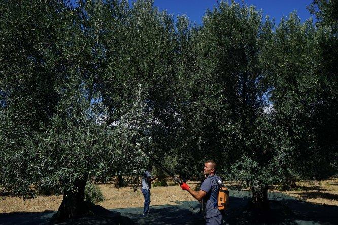 Edremit Körfezi'nde zeytin hasadı erken başladı