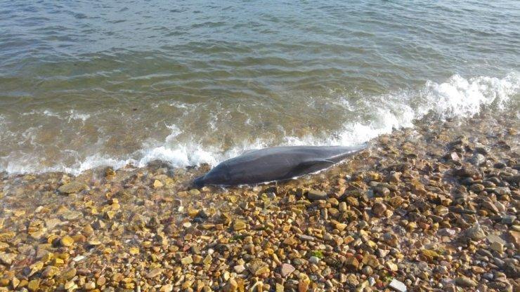 Kuyruğu kesilmiş haldeki ölü yunus sahile vurdu