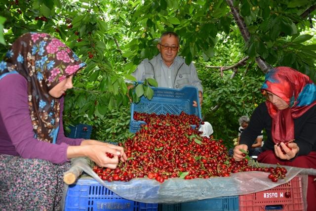 toroslardan-rusyaya-kiraz-ihracati-(2).jpg